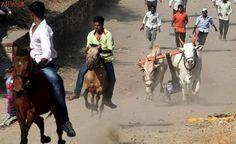 Retrocesso: Estado indiano legaliza corridas de carros de boi