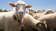 Koniecznie odwieź: http://puszystaowca.pl/wypas-owiec-jozefow/