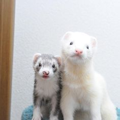 ♥ Small Pets ♥ Ferrets lookin' all sweet!