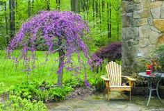 Lavender Twist Redbud - Dwarf weeping redbud reaching only 5 feet tall and 5 feet wide. Bright purple flowers cover the branches in early spring. Great near the house as a specimen plant.