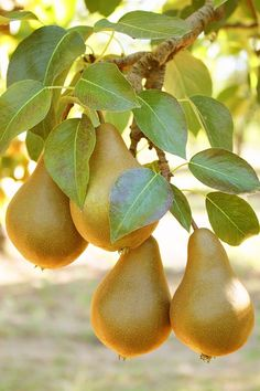 Fruit to harvest in Autumn, Pear. Fruit to harvest in Autumn, Pear. , Fruit to harvest in Autumn, Pe Pear Fruit, Fruit And Veg, Fruits And Vegetables, Fresh Fruit, Citrus Fruits, Dried Fruit, Vegetables Photography, Fruit Photography, Summer Photography
