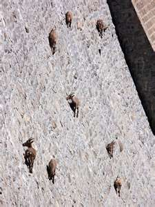 Bighorns on Buffalo Bill Dam, Shoshoni River, Cody, Wyoming