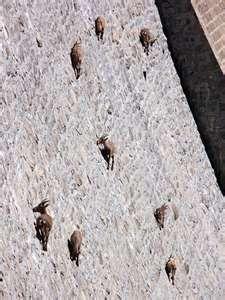 Bighorns on Buffalo Bill Dam, Shoshoni River, Cody, Wyoming