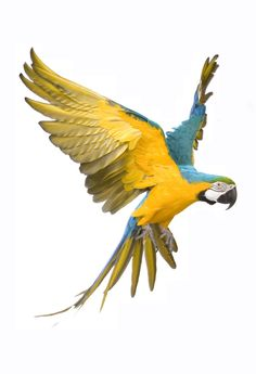 A funny parrot can be so cute. Check out these funny parrot videos. Contains some funny parrots dancing, some funny parrots talking or better said, imitating, Exotic Birds, Colorful Birds, Parrot Facts, Parrot Flying, Blue Gold Macaw, Parrot Tattoo, Parrot Painting, Funny Parrots, Tropical Animals