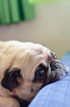 Chin rest plop #pug