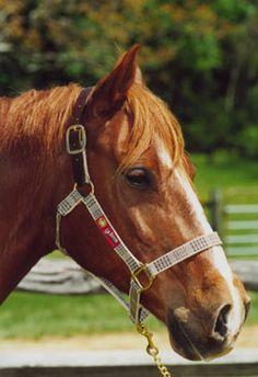 Tory Flat Hunt Leather Breastplate HORSE Oakbark or Havana Brown Black