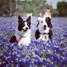 What do you get if you cross a sheep dog with some lavender?  A collie flower.  #dog #joke #cute #sheepdog