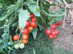 60 Seconds or Sow: Video Gardening Tips!: 60 Seconds or Sow: How to Use Baking Soda to Fight Powdery Mildew