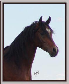 Straight Egyptian, Al Khamsa, Arabian Stallions and Colts for Sale