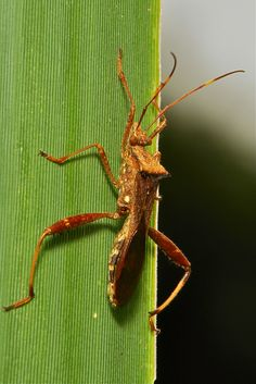 Bean Bug (Riptortus pedestris, Alydidae)   por John Horstman (itchydogimages, SINOBUG)