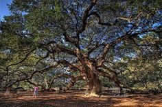 Angel Oak (John's Island, South Carolina)Reportedly the oldest thing -- living or man-made -- east of the Rockies, Angel Oak is a live oak tree aged approximately 1,500 years.