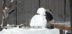 Giant panda wrestles with snowman at Toronto Zoo
