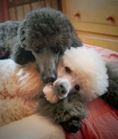 Poodle The Adorable Dog - The Pooch Online French Poodles, Standard Poodles, I Love Dogs, Cute Dogs, Small Poodle, Poodle Cuts, Poodle Grooming, Dog Grooming, Oui Oui