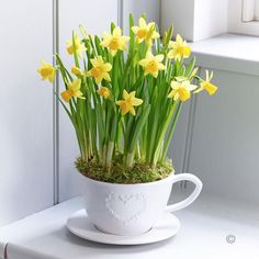 Spring Tete a Tete Teacup and Saucer - This beautifully presented gift is a celebration of #spring in all its golden glory. We've planted pretty flowering tête-à-tête in a charming teacup and saucer to create a display that will light up their home with a glorious array of mini daffodils.