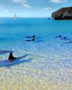 Balandra Beach, La Paz, Baja California Sur, Mexico Look at the Orcas! Hope they don't beach ~ they're so shallow! Oh The Places You'll Go, Places To Travel, Places To Visit, Dream Vacations, Vacation Spots, Baja California Sur, Les Continents, All Nature, Mexico Travel