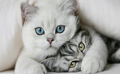 This is the best website for cute cat pictures. The greatest funny cuddly cats and kitten pictures every single day. Only Cute Cat Pictures for you to love. Cute Kittens, Cats And Kittens, Kitty Kitty, Cats Bus, Siamese Cats, Bad Kitty, Cats Meowing, Sphynx Cat, I Love Cats