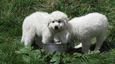 Cuccioli di pastore maremmano (Foto di D.Furlanetto), uno straordinario compagno per la difesa del bestiame domestico dagli attacchi da lupo (www.uomoeterritoriopronatura.it).