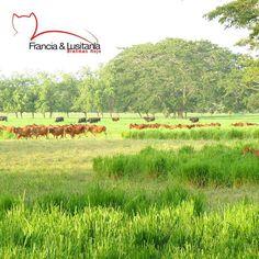 Paisajes de nuestras #HaciendasFranciaYLusitania #Haciendas #Montería #Ganadería #Colombia @asocebu @fedegan #BrahmanRojo