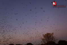 Red-billed Queleas filling the sky. Red Bill, Rest Of The World, Africa Travel, Travel Guide, South Africa, Safari, Sky, Sunset, Outdoor
