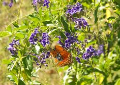 Gulf Fritillaries last chance to mate before the first hard frost.