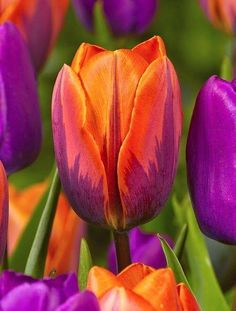 tulips garden care Orange and Hot PInk with a touch of Green - Eye-popping color! Id love a shawl or shrug in these colors! Amazing Flowers, My Flower, Beautiful Flowers, Cactus Flower, Exotic Flowers, Beautiful Gorgeous, Colorful Flowers, Bulb Flowers, Tulips Flowers