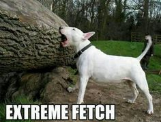 Dog fetching big stick lol