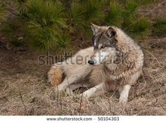 Timber Wolf (Canis lupus) Lies in the Grass - full body - captive animal - stock photo Wildlife Photography, Animal Photography, Wolf Black, Black Wolves, Gray Wolf, Cute Baby Animals, Wild Animals, Timber Wolf, Mule Deer