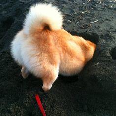 Shiba digging