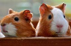 guinea pig isirir mi