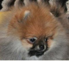 Learn about the 3 Pomeranian faces. Baby Doll Pomeranian, Fox Face Pomeranian and Teddy Bear Pomeranian. Fox Face, Bear Face, Puppies For Sale, Cute Puppies, Teddy Bear Pomeranian, Dog Life, Fur Babies, Baby Dolls, Cute Animals