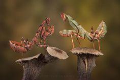 Biologia dos Insetos: Mantodea (louva-a-deus)