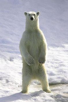 Whoa!! Tall polar bear....I think they're the largest bears....as long as 8'.
