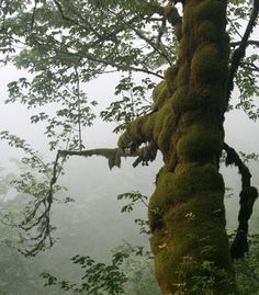 Foggy Northwest with trees. Vacation Ideas: 29 Forests You Need to See