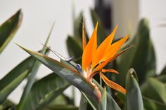Bird of Paradise plant is easy to care. Strelitzia is an outdoor flowering plant. Outdoor Flowering Plants, Strelitzia Plant, Birds Of Paradise Plant, Plant Health, Types Of Soil, Plant Care, Flower Making, Nature Photos, Evergreen