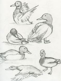 Mallard Duck | The eBestiary