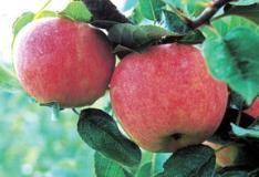 Ripening gala apples
