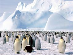 Emperor Penguin | ... and Metabolic Energy Loss of the Emperor Penguin | EcoClass2010 Blog