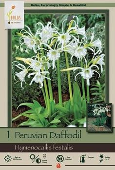 Peruvian Daffodil Hymenocallis festalis from Netherland Bulb Comapany - Fragrant pure white daffodil-like flowers supported by a small amount of basal green foliage. Peruvian daffodils are easy to grow in full sun to partial shade in well-drained soil. Excellent plant for containers which can then be easily lifted in northern climates where they may not survive the winter if left unprotected.