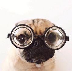 I see you!! #puglove #puglife