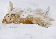 January 10, 2011 - A golden retriever named Ginger enjoys the snow in Mississippi Greenbelt Park. (Alan Spearman/The Commercial Appeal)