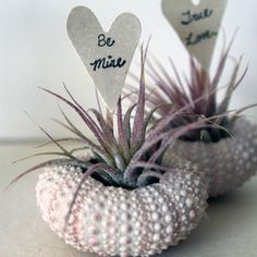 Spread the Love Air Plant with Shell