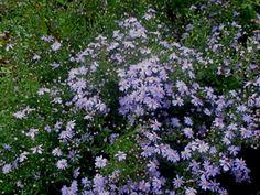 Simple Garden Designs, Light Blue Flowers, Blue Wood, Tiny Flowers, Aster, Drought Tolerant, Shade Garden, Perennials, Bloom
