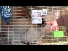 Angora Rabbit feeding.  Awesome info!