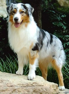 "Blue merle ""Aussie"" Australian Shepherd.  He looks like he may be from the ""Barn Stormer"" line."