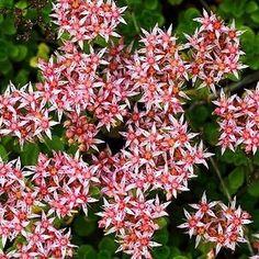 Sedum (Sedum Stoloniferum) - Every garden has a space for this unique Sedum…