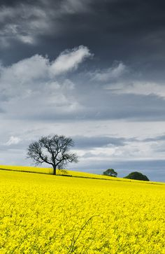 Canola field, Muiryknowes, Argyll, the Highlands, Scotland