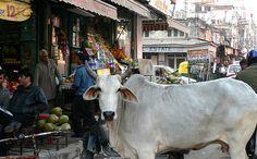 Como ya habrán oído antes, la vaca es un animal sagrado en la India. Representan la fertilidad y la maternidad y dicen que si una vaca te toca con la cola te trae suerte. Por muy sorprendente que parezca estos animales pueden circular libremente por todas partes, la gente se aparta a su paso y algunas van pintadas. En India las vacas son animales especiales, la gente les pone de comer y las cuidan muy bien. #Mayura #India #Animales #VacaSagrada Mayura restaurante & lounge - Barcelona
