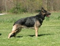 http://www.examiner.com/german-shepherd-in-akron/feeding-your-german-shepherd-dog-switching-to-the-raw-diet-part-1     SG Dino vom Haus Weinbrand SchH2 Kkl2 AD 'a' normal H CERF eyes DM clear