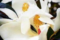 Cuadro Southern Magnolia II