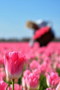 Tulip Dynasty has the most beautiful shade of pink. Plant some tulip bulbs in your garden now to enjoy a garden full of flowers next srping! Beautiful Flowers Pictures, Flower Pictures, Texas Gardening, Organic Gardening, Tulips Garden, Flower Gardening, Tulip Bulbs, Bulb Flowers, Flower Farm